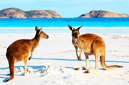 Kænguruer på Kangaroo Island