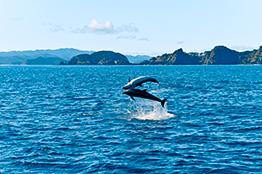 Delfiner i Kaikoura, New Zealand