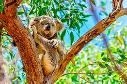 Koalabjørn på Magnetic Island i Townsville
